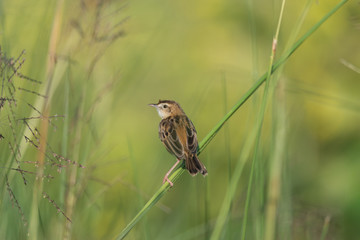 A ziting cristicola in the morning sun