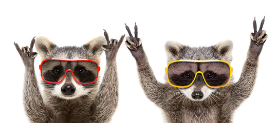 Photo sur Toile Magasin de musique Portrait of a funny raccoons in sunglasses showing a gesture, isolated on a white background
