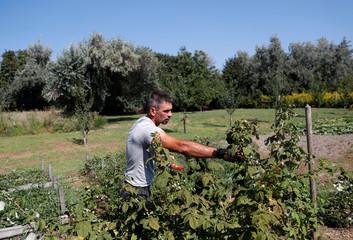 Komaromi, former editor at the daily Nepszabadsag picks raspberries in his garden in Szigetszentmiklos