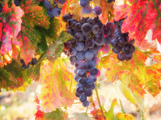 Bunch of ripe blue grapes with color autumn leaves, natural agricultural sunny background of vineyard for winemaking