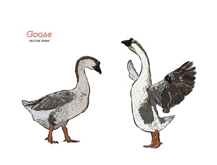 Hand drawn goose isolated. Engraved style vector illustration.