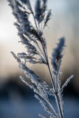 frozen vegetation in winter on blur background