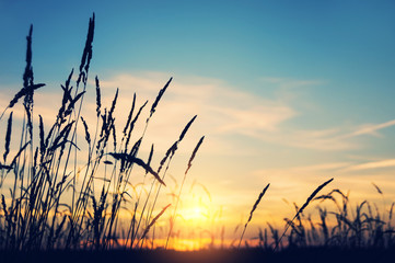 Photo sur Aluminium Bleu jean Evening bright landscape with tall grass against the backdrop of the setting sun
