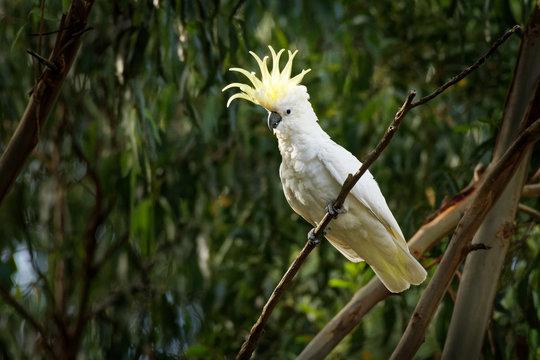 Cacatua galerita - Sulphur-crested Cockatoo sitting on the branch in Australia.