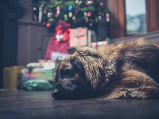 Giant dog guarding christmas tree and presents