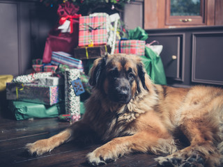 Giant dog guarding christmas tree and presents