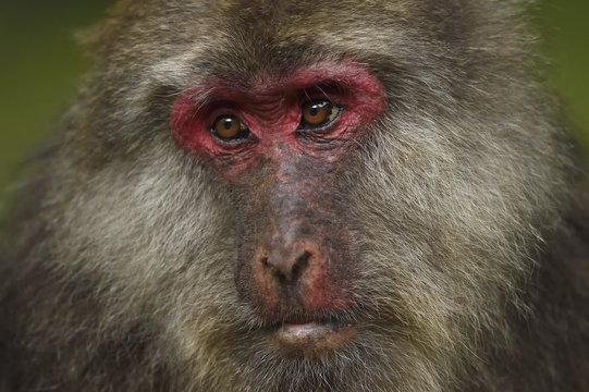 Close up of Tibetan macaque, Tangjiahe National Nature Reserve, China