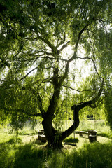 Outdoor bench and table underneath large willow tree with swing hanging from one branch.