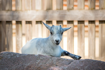 La petite chèvre blanche