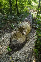 Drzewo przewrócone przez bobry