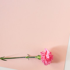 Real photo of a white background with pink pastel paper copy space with pink carnation flower at the bottom