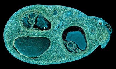 ovarium - cross section cut under the microscope – microscopic view of animal cells for education
