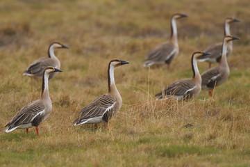 Swan geese walking