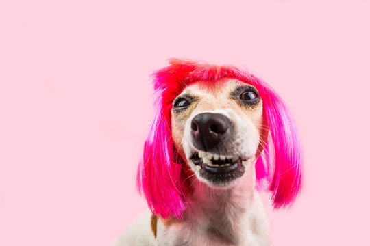 Angry disgust, denial, disagreement dog face in pink wig. Funny pet