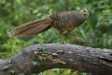 Golden pheasant female, on log in forest, China
