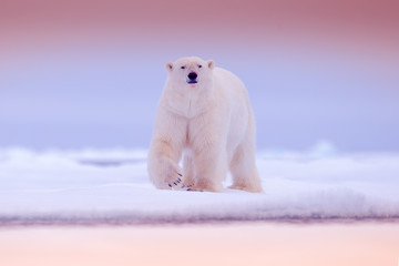 Polar bear on drift ice edge with snow and water in sea. White animal in the nature habitat, north Europe, Svalbard. Wildlife scene from nature. Pink blue twilight with polar bear, beautiful evening.