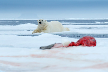 Polar bear on the ice. Dangerous polar bear in snow with seal carcass. Wildlife action scene from Arctic nature. Bloody scene with red blood skeleton of seal. Animal feeding behaviour in the Arctic.