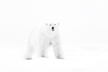 Poster Ijsbeer Polar bear on drift ice edge with snow and water in Russian sea. White animal in the nature habitat, Europe. Wildlife scene from nature. Dangerous bear walking on the ice, beautiful evening sky.