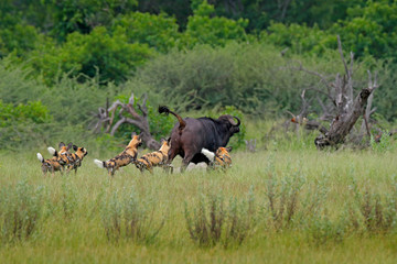 Wild Dog Hunting in Botswana, buffalo cow and calf with predator. Wildlife scene from Africa, Moremi, Okavango delta. Animal behaviour, pack pride of African wild dogs offensive attack on calf.