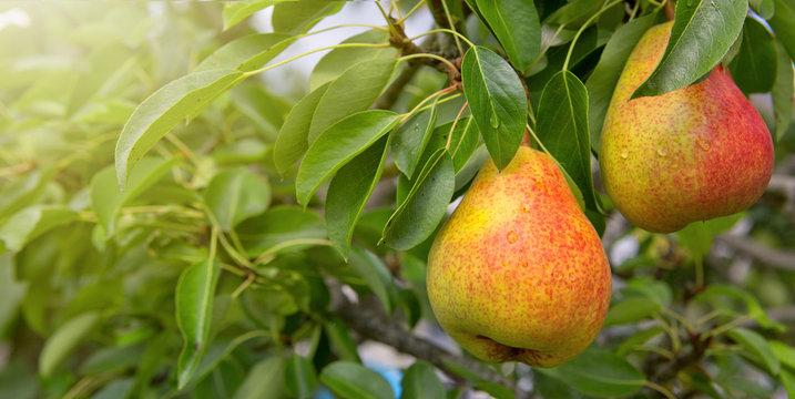 William Bon Chretian pears ripening on the tree.