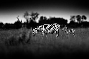 Fotomurales - Zebra with dark storm sky. Burchell's zebra, Equus quagga burchellii, Nxai Pan National Park, Botswana, Africa. Wild animal on the meadow. Wildlife nature, African safari. Black and white art.