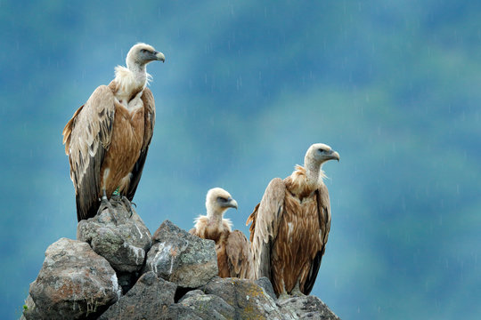Group of vultures. Griffon Vulture, Gyps fulvus, big birds of prey sitting on the rocky mountain, nature habitat, Madzarovo, Bulgaria, Eastern Rhodopes. Wildlife from Balkan.