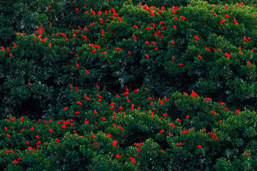 Scarlet Ibis, Eudocimus ruber, exotic red bird, nature habitat. Big bird colony sitting on the tree, Caroni Swamp, Trinidad and Tobago, Caribbean. Flock of ibis, wildlife nature. Art view on animals.