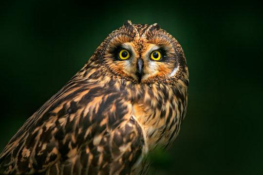 Detail portrait of owl, fixed eyes. Short-eared Owl, Asio flammeus, sitting on the spruce tree. Bird in the habitat, beautiful yellow eyes. Wildlife scene from Europe.