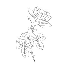 Rose contour line illustration. Barbed flower with leaves. Rose pencil drawing. Garden flower sketch. Postcard, logo, cover, tattoo floral design element. Vector isolated on white background