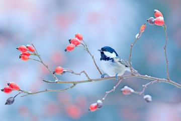 Fototapeta premium Sikora węglowa na gałęzi śnieżnej dzikiej czerwonej róży. Zimny poranek w przyrodzie. Songbird w środowisku naturalnym. Scena dzikiej przyrody z zimowego lasu, Niemcy, Europa. Ptak w środowisku.