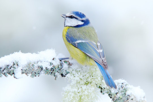 Bird Blue Tit in forest, snowflakes and nice lichen branch. Wildlife scene from nature. Detail portrait of beautiful bird, France, Europe. First snow in nature. Snow winter with cute songbird.