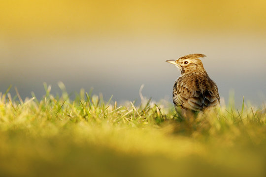 Crested Lark, Galerida cristata, in the grass on the meadow. Bird in the nature habitat, Czech Republic. Samll grey brown bird with crest. Wildlife scene from European nature.