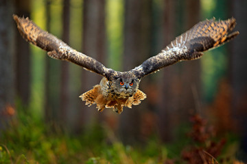 Wall Mural - Flying Eurasian Eagle Owl with open wings, action wildlife scene from nature, Germany. Dark forest with bird. Owl in forest habitat, tree stump. Bird in the forest habitat.