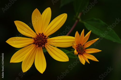 Yellow flowers on dark background stock photo and royalty free yellow flowers on dark background mightylinksfo