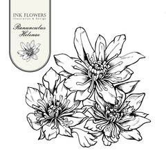 Hand drawn vector botany illustration of rare flowers Ranunculus helenae.