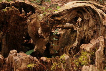 Twisted stump