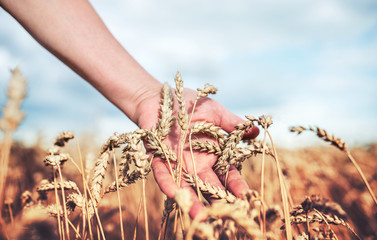 Woman's hand touching wheat ears. Harvest concept