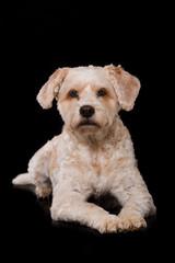 Niedlicher Mischlingshund auf schwarzem Hintergrund