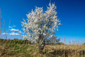 blooming apple tree in early spring