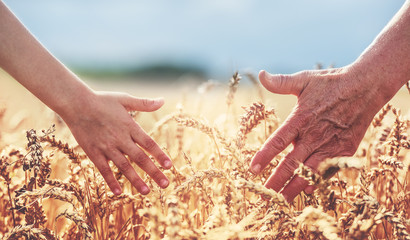 Hands in the wheat field. Harvest, lifestyle, family concept