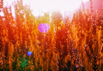 Lavender field in the sunset in Kuyucak, Isparta, Turkey.
