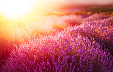 Lavender field in the sunset in Kuyucak, Isparta, Turkey.