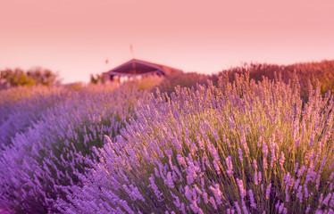 Lavander field in the sunset and a hut/cottage in the background in Kuyucak Village, Isparta, Turkey.