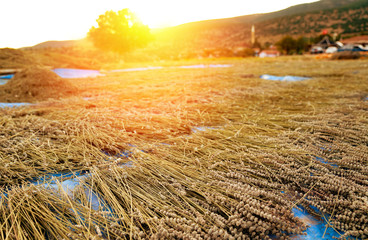 Freshly harvested lavender drying as hay stacks in the sunset and Kuyucak Village in the background, Isparta, Turkey.