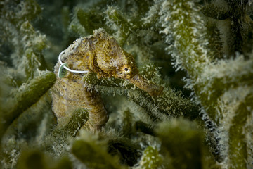 Tagged Yellow seahorse