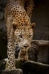 Aluminium Prints Leopard The Look of a Leopard