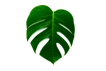 "isolated leaf of ""Monstera deliciosa"" plant"