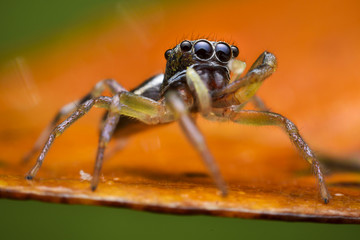 Unknown Jumping spider china