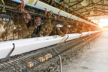 Egg production. brown or red chickens are seated in special cages. Agribusiness company. Chicken farm business with high farming and using technology on farming