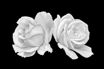 Monochrome black and white fine art still life bright floral macro of a pair of white open rose blossoms, black background,detailed texture,vintage painting style